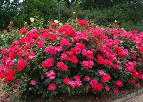 Шрабы розы купить в москве