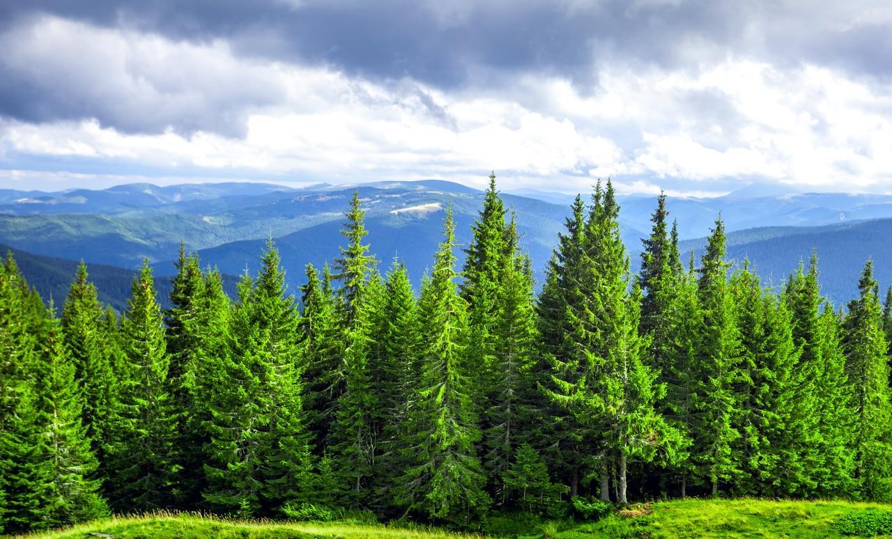 Продолжительность жизни и размеры хвойных деревьев